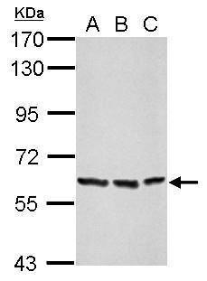 Afamin Antibody (PA5-29500) in Western Blot
