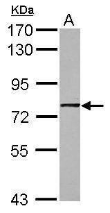 GNL1 Antibody (PA5-29508)