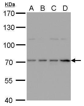 HDC Antibody (PA5-29509) in Western Blot