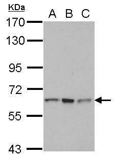 RNF12 Antibody (PA5-29530)