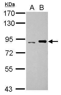 POLI Antibody (PA5-29534)