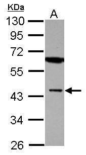 MBNL1 Antibody (PA5-29541) in Western Blot