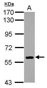 EBF1 Antibody (PA5-29545) in Western Blot
