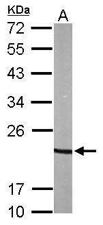 p23 Antibody (PA5-29547) in Western Blot