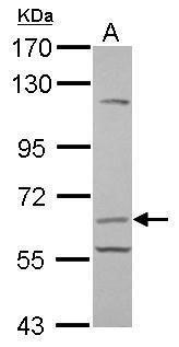 CD105 Antibody (PA5-29555)