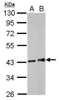 CD32A / FCGR2A Antibody (PA5-29563)
