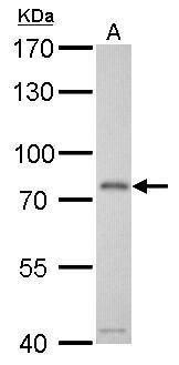 Transferrin Antibody (PA5-29568) in Western Blot