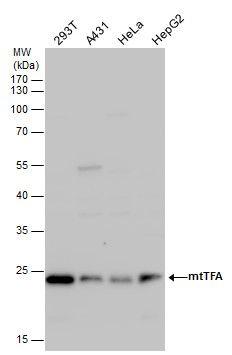 TFAM Antibody (PA5-29571) in Western Blot