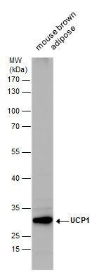 UCP1 Antibody (PA5-29575) in Western Blot