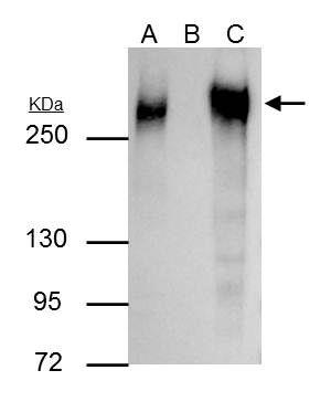 Fibronectin Antibody (PA5-29578) in Immunoprecipitation