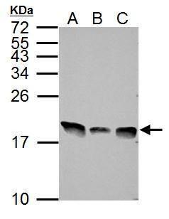 Histone H3.3 Antibody (PA5-29602) in Western Blot