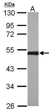 ENO1 Antibody (PA5-29660) in Western Blot