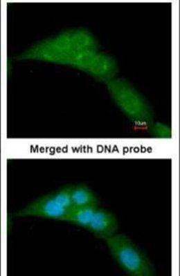 WWOX Antibody (PA5-29701) in Immunofluorescence