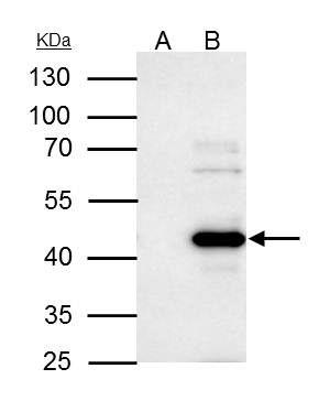 WWOX Antibody (PA5-29701) in Immunoprecipitation