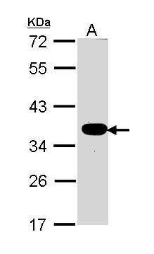 ATP1B1 Antibody (PA5-29719) in Western Blot
