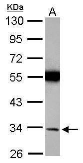 Torsin 1A Antibody (PA5-29729) in Western Blot