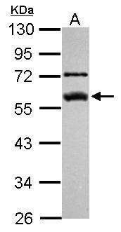 FKBP5 Antibody (PA5-29735)