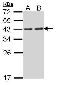 RPSA Antibody (PA5-29743) in Western Blot