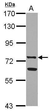 Lactoferrin Antibody (PA5-29744) in Western Blot