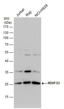 NDUFS3 Antibody (PA5-29747) in Western Blot