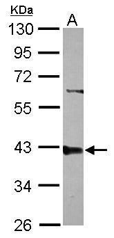 PPP2R4 Antibody (PA5-29755) in Western Blot