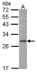 Syntaxin 1 Antibody (PA5-29765) in Western Blot