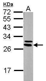 14-3-3 epsilon Antibody (PA5-29773) in Western Blot