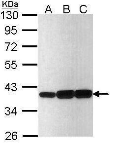 AKR1C3 Antibody (PA5-29779) in Western Blot