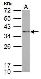 Fibrillarin Antibody (PA5-29801) in Western Blot