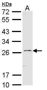 GSTA1 Antibody (PA5-29811) in Western Blot