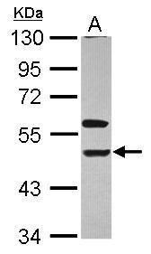 KIR3DL1 Antibody (PA5-29821)