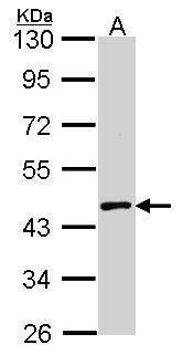 MBNL1 Antibody (PA5-29825)