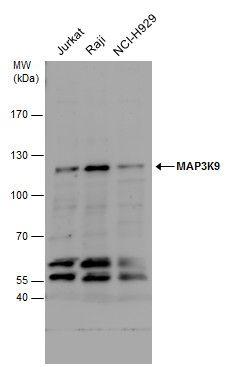 MLK1 Antibody (PA5-29827) in Western Blot