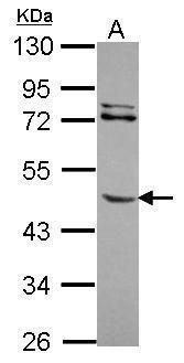 MMP8 Antibody (PA5-29828)