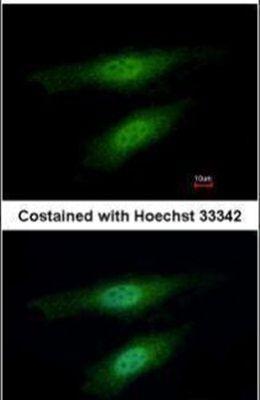 MSH3 Antibody (PA5-29829) in Immunofluorescence