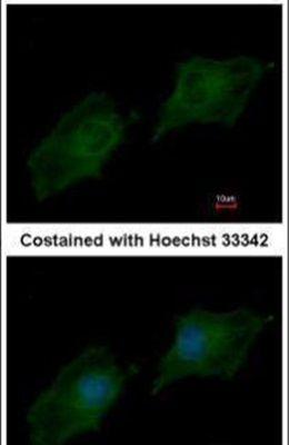 SRC3 Antibody (PA5-29854)