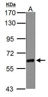 NR1D1 Antibody (PA5-29865) in Western Blot