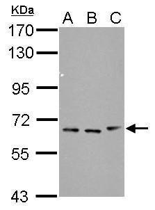 FBXW11 Antibody (PA5-29877) in Western Blot
