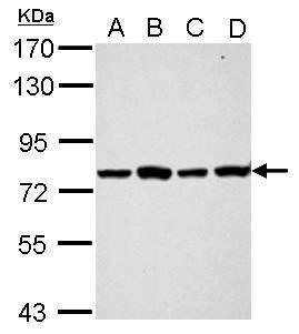 PABP Antibody (PA5-29883) in Western Blot