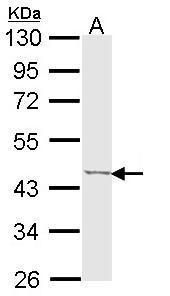 TRIB3 Antibody (PA5-29887) in Western Blot
