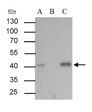 BMI-1 Antibody (PA5-29891) in Immunoprecipitation