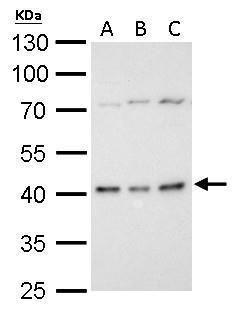 BMI-1 Antibody (PA5-29891) in Western Blot