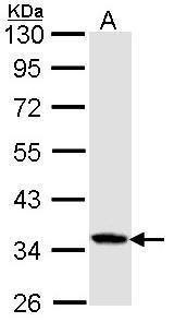 Caspase 4 Antibody (PA5-29892)