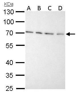 Granulins Antibody (PA5-29909) in Western Blot
