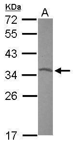 OTX2 Antibody (PA5-29914)