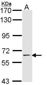 E-selectin Antibody (PA5-29946)