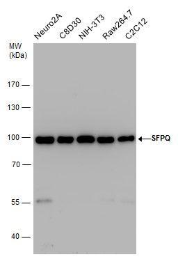 SFPQ Antibody (PA5-29948) in Western Blot