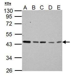 TARDBP Antibody (PA5-29949) in Western Blot