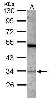 PACT Antibody (PA5-29950) in Western Blot