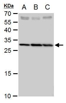SLC25A6 Antibody (PA5-29967)